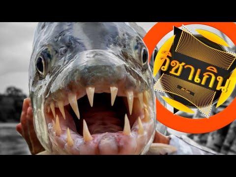 สารคดี วิชาเกินสัตว์โลก [season3] ep.39 ไอเสือร้ายแห่งแมงน้ำคองโก #ปลาไทเกอร์โกไลแอต