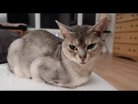 Abyssinian cats chill in the bedroom (rest and relaxation video) | CUTE CAT CLEO