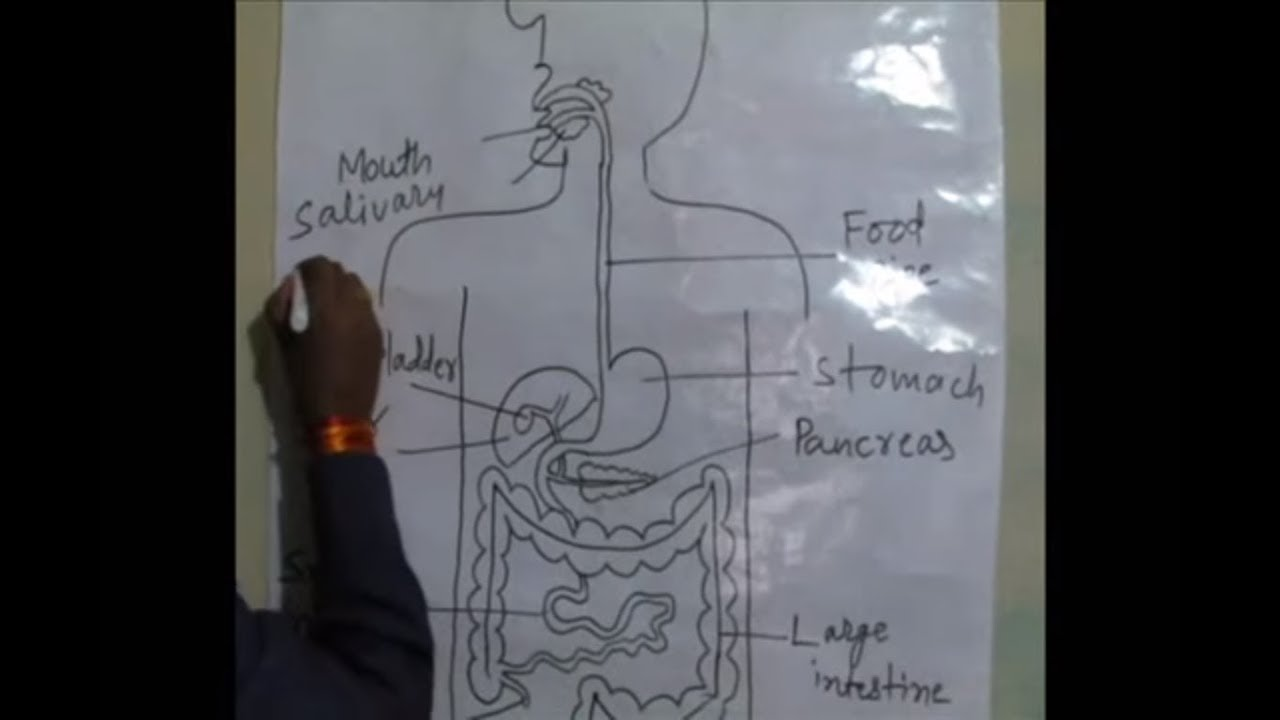 how to draw human digestive system in very easy way [ 1280 x 720 Pixel ]