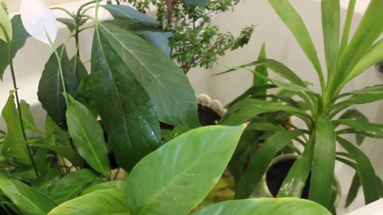 Щитовка на комнатных растениях