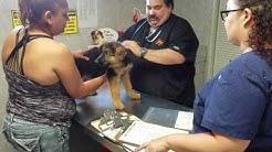 Florida German Shepherd Puppies