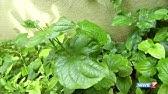 Ranakalli' plant helps to cure kidney stone   Poovali