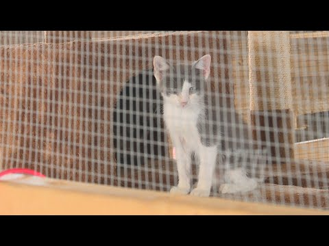 Cat Herpes At Jackson County, Indiana, Fair