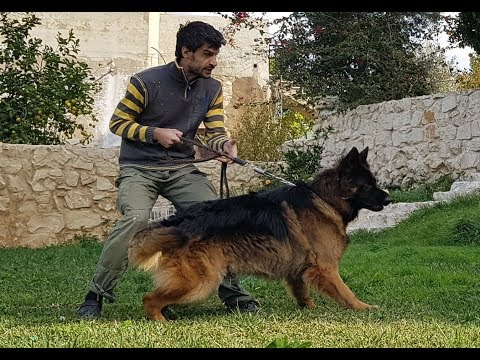 Leçon 15 - Conseils et astuces berger allemand - German Shepherd training tips and tricks 2