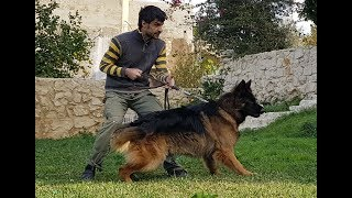 Download Video Leçon 15 - Conseils et astuces berger allemand - German Shepherd training tips and tricks 2 MP3 3GP MP4
