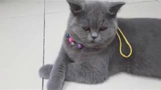 Những đặc điểm của mèo anh lông ngắn