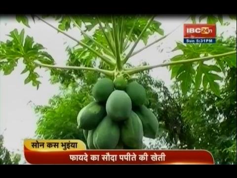 Papaya Farming !! Papeete Ki Kheti Kaise Karen !! Sonkas Bhuiyan