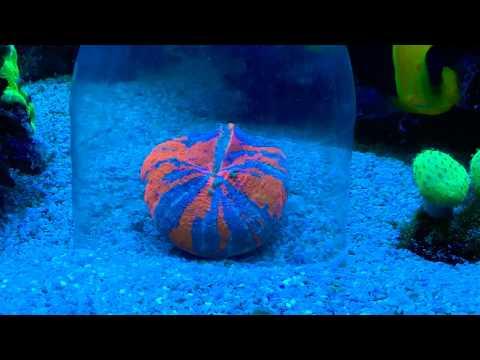 Feeding Scolymia Coral