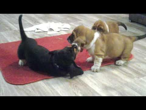 For Sale puppies basset hound, litter Ch 6 weeks