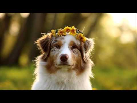 Australian Shepherd lovely Ayla, 1 year ♥