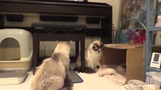 他の猫が子猫をいじくっていたら、母猫が・・・ついに一撃。an angry mother cat attacks brutally thumbnail