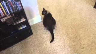 У немногих животных настроение так ясно отражается на морде, как у кошек =^..^= СИАМСКИЕ КОШКИ