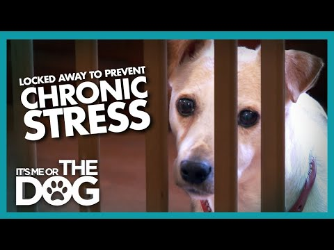 Stressed Jack Russell Faces an Early Grave | It's Me or the Dog