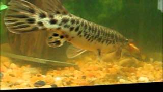 Video Alligator Gar  V.S  Piranha download MP3, 3GP, MP4, WEBM, AVI, FLV Januari 2018