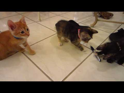 Three Curious Kittens Sniffing & Playing with a Pen - 6 Weeks Old - Super Cute!