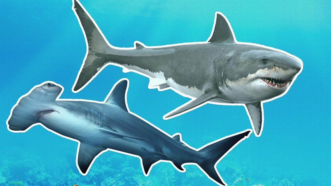 Sharks for Kids | Great White vs Hammerhead | Shark Week for Kids