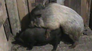 Случка свиней. / The pig's line.