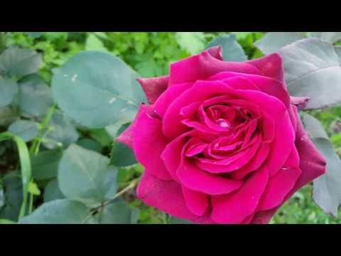 Розы Grafine Diana, Alexandra Princesse de Luxembourg, Ashram, Chartreuse de Parme, Heidi Klum, Lave