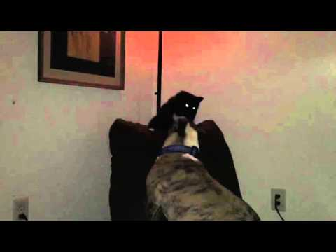 Evil Cat VS Stupid Dog