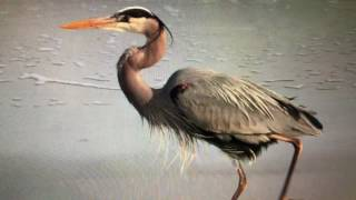 great blue heron song call