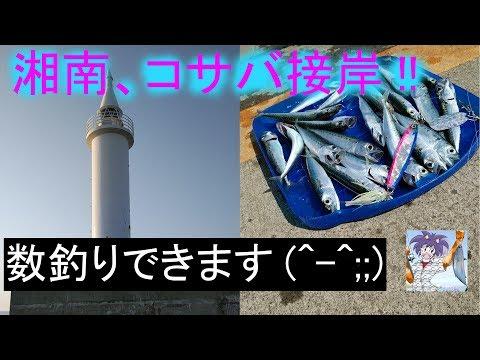 湘南にコサバ接岸!数釣りが楽しい!? in江の島湘南港
