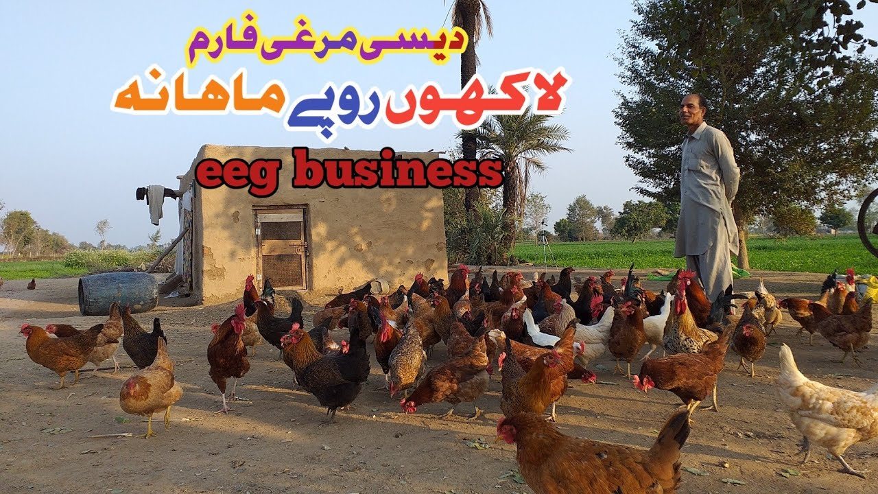 Desi Hen Farming in Pakistan|Golden Misri Farming in Pakistan|Desi Poultry  Farming|Desi Murghi