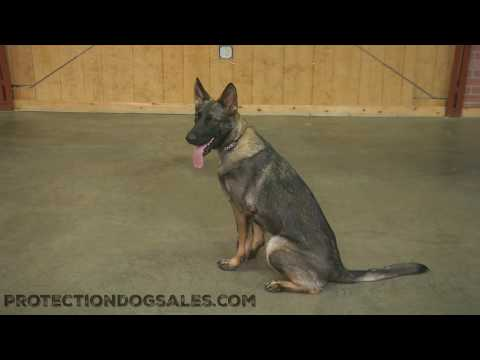 Pinot Von Prufenpuden 1 Year Old Obedience & Agility