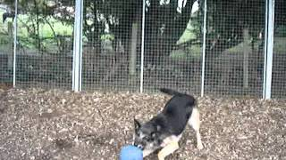 Jess Short Haired German Shepherd Needs A Home - Rspca Macclesfield.mpg