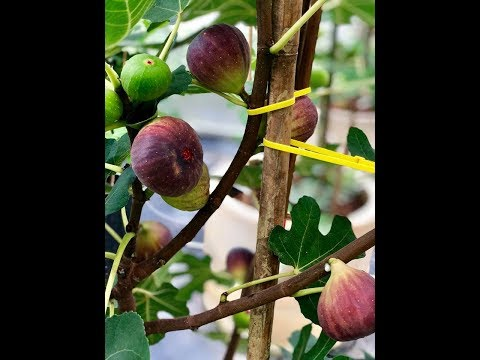 Fruits picking at Fig Malaysia Farm at Dato Syed Elias Figs Farm