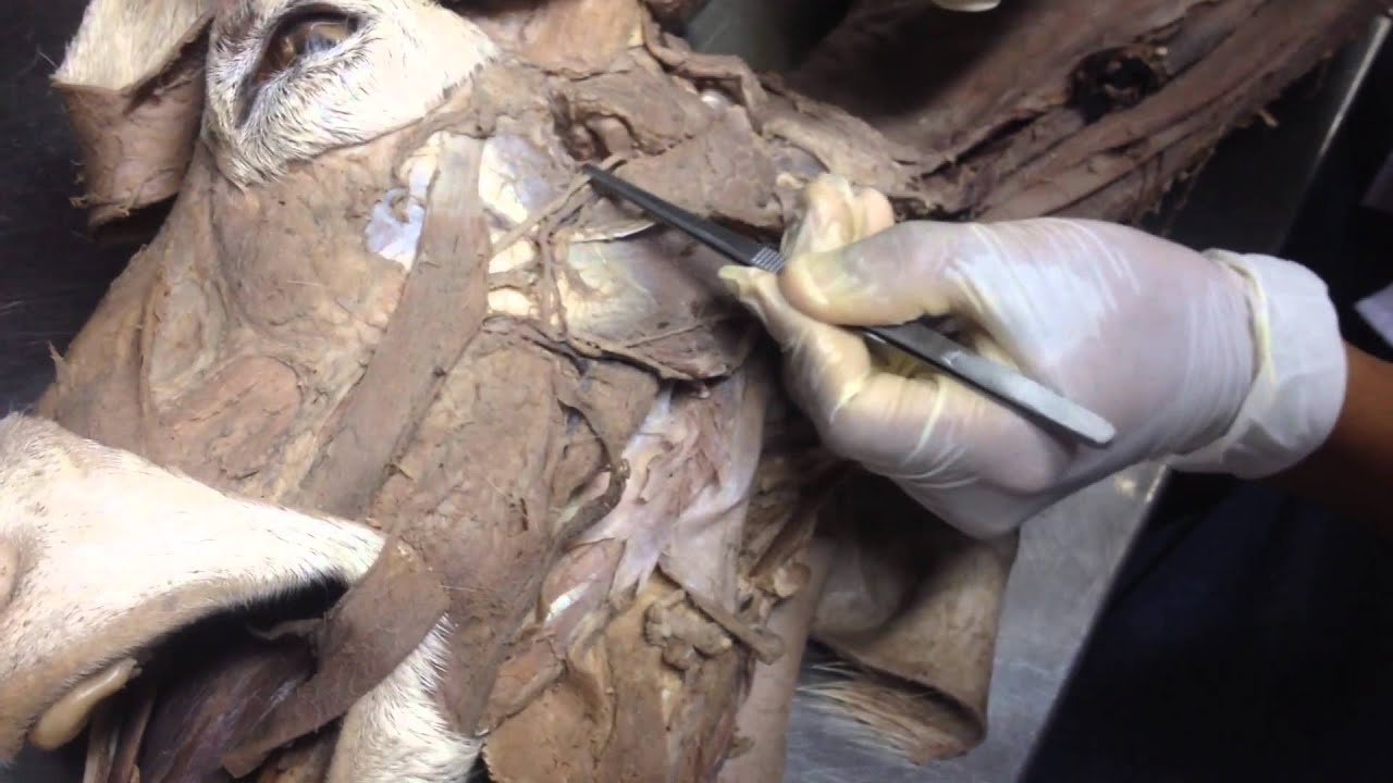 Estructuras cabeza y cuello (Caprino) - YouTube