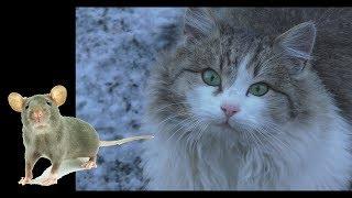 Сытая кошка поймала мышь. Забавная игра кошки с мышкой