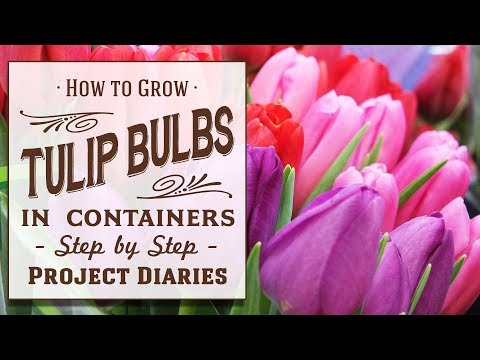 ★ How To: Grow Tulip Bulbs In Containers (A Complete Step By Step Guide)