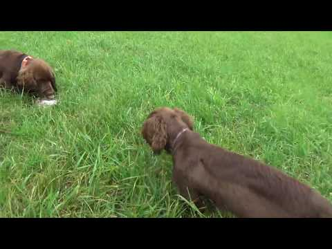 Sussex Spaniels Hunting Quail