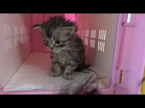 4 week old Maine Coon kitten