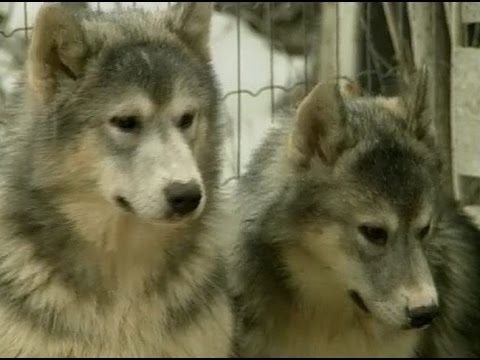 NWT: Surviving the North – The story of the 'Eskimo' dog.