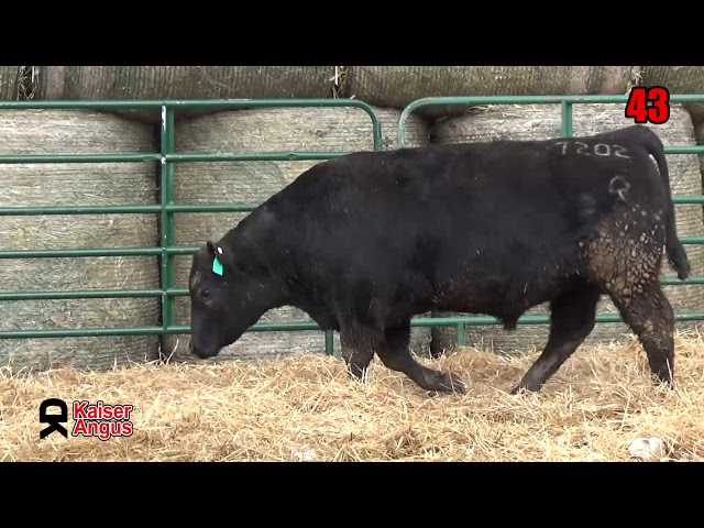 Kaiser Angus Ranch Lot 43