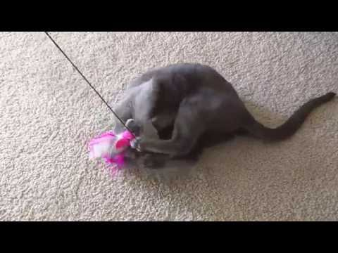 Lena the Russian Blue playing