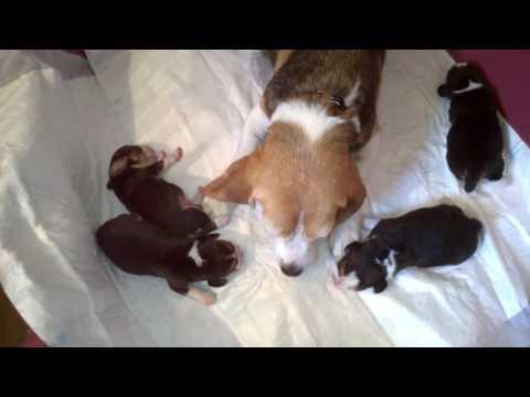 """Beagle szczeniaki - miot  """"I"""" w wieku 4 dni"""