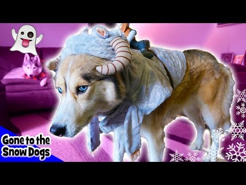 Funny Dogs in Halloween 2017 Costumes | Frozen Shelby the Husky
