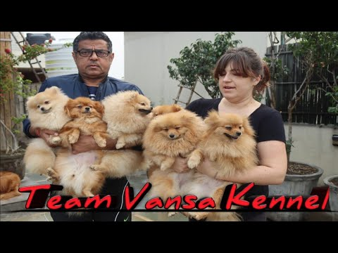 Team Vansa Kennel || Pomeranian || Schnauzer || Mr Alok Nanda || Scoobers