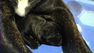 Рождение щенков: что  и как . Все О Домашних Животных.