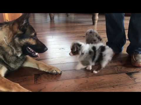 Mystery's toy puppies play with a German Shepherd at Lindsey's Aussies