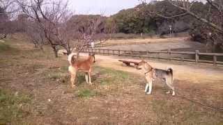 ここ佐布里周辺には数頭の野犬がいますが、このアカ(勝手に呼んでいます...