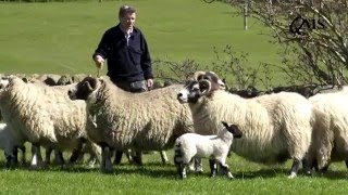 NSA Scot Sheep 2016 Preview