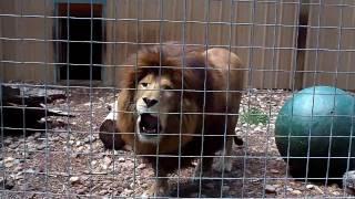 Lion Roar Video