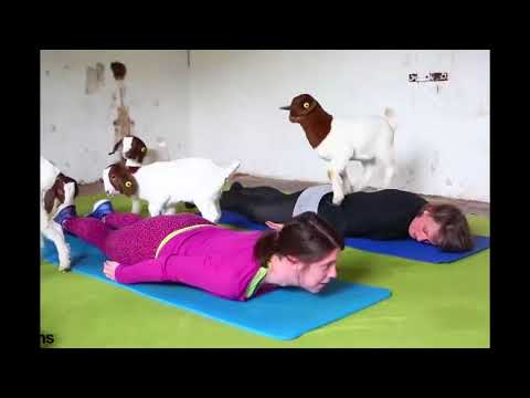 A fitness class has become the first in Britain to practice pilates with goats