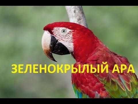 ЗЕЛЕНОКРЫЛЫЙ АРА (ara chloroptera) /ПОПУГАИ НА ПРИРОДЕ/ АРА