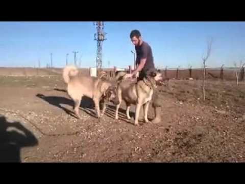 Kralların hanedanlıklarında agırladıkları kangallar --Duman ve