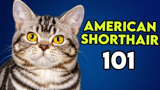 American Shorthair 101  This Is What You Need To Know!