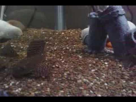 Oscar fish & Pleco